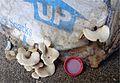 2013-12-28 Tapinella panuoides (Batsch) E.-J. Gilbert 394344.jpg