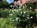 2014-08-29 13 44 25 White-flowered Rose-of-Sharon at the Pinelands Preservation Alliance headquarters in Southampton Township, New Jersey.JPG