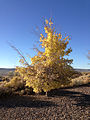 2014-10-06 08 01 01 Small tree during autumn leaf coloration in Elko, Nevada.JPG