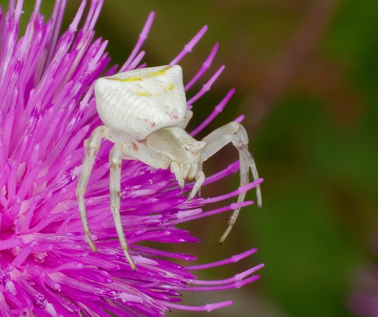 Kvetárik menlivý (Thomisus onustus) - samička