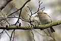 20150419 063 Kessel Weerdbeemden Vink, Common Chaffinch, Buchfink, Fringilla coelebs (17014089738).jpg
