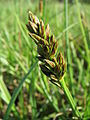 20150422Carex cuprina01.jpg