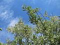 20150602Elaeagnus angustifolia2.jpg