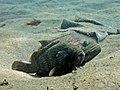 2015 09 Bali 43 resting on sand (21470427334).jpg