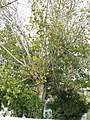 2017-11-28 Small-leaved Lime tree (Tilia cordata), Urbanização Jacarandá, Albufeira.JPG