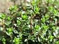 20170312Arenaria serpyllifolia3.jpg