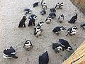 20170525 Pairi Daiza pingüinos.jpg