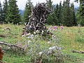 2018-08-11 (141) Wild alpine meadow with Silybum marianum (blessed milkthistle) and brooken tree at Tirolerkogel, Annaberg, Austria.jpg