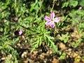 20180506Geranium robertianum1.jpg