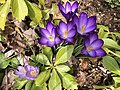 2019-03-15 14 39 23 Ruby Giant Crocuses and Tommasini's Crocuses blooming along Tranquility Court in the Franklin Farm section of Oak Hill, Fairfax County, Virginia.jpg