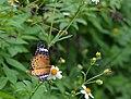 294黑端豹斑蝶8(游釗敏攝) (18423952123).jpg