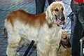 2 Afghan hounds.jpg