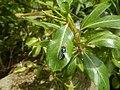 4217Foods Common houseflies Ants of the Philippines 17.jpg