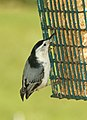 686 - WHITE-BREASTED NUTHATCH (9-27-2018) pepperell, middlesex co, ma -03 (30091964537).jpg