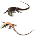 A-new-species-of-Alopoglossus-lizard-(Squamata-Gymnophthalmidae)-from-the-tropical-Andes-with-a-zookeys-410-105-g001.jpg
