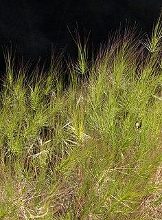 <i>Taeniatherum</i> genus of plants