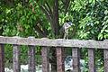 AR PN COSTA03 SANTAY FAUNA Yellow Crowned Night Heron 022 (13993547818).jpg