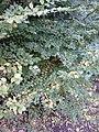 AZ0119 Ulmus minor aff. 'Microphylla'. Viewcraig Gardens, Edinburgh (02).jpg