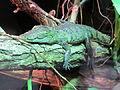 A Morelet's Crocodile hatchling (6363293417).jpg