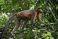 A Pregnant Capped Langur - Flickr - Dr. Santulan Mahanta (2).jpg