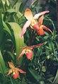 A and B Larsen orchids - Phragmipedium longifolium x besseae 666-22.jpg