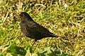 A blackbird in the grass, Kent.jpg