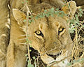 A female lion is seen in Serengeti National Park in Tanzania Nov. 14, 2013 131114-N-LE393-295.jpg