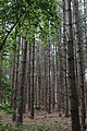 A fir pine plantation at Theydon Mount Essex England 02.JPG