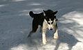 A hunting husky.jpg