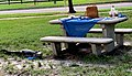 A juvenile alligator approaching a picnic table by Lake Alice on UF campus.jpg