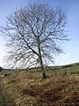 A tree by track near Mossgiel - geograph.org.uk - 1207732.jpg