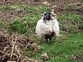 A very fine sheep - geograph.org.uk - 2412213.jpg