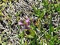 Abellera vermella al prat d'orquídies de la maresma de les Filipines P1100486.jpg