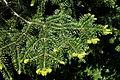 Abies cilicica - Morris Arboretum - DSC00492.JPG