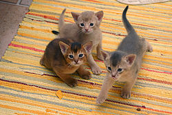 Photograph of three Abyssinian kittens, showing three different coat colors: ruddy, fawn and blue