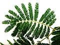 Acacia ataxacantha, blaar, Skeerpoort.jpg