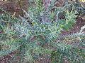 Acacia cultriformis Montjuic.jpg