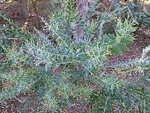 Acacia Cultriformis Wikipedia