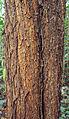 Acacia mangium bark.jpg