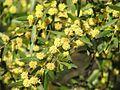 Acacia verniciflua.jpg