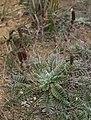 Acaena cylindristachya 1.jpg