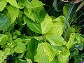 Acalypha wilkesiana serres du Luxembourg.jpg