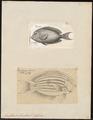 Acanthurus lineatus - 1700-1880 - Print - Iconographia Zoologica - Special Collections University of Amsterdam - UBA01 IZ13700041.tif