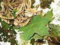 Acer campestre leaf 01 by Line1.JPG