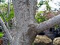 Acer cissifolium henryi 3zz.jpg