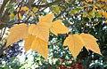 Acer rufinerve - Quarryhill Botanical Garden - DSC03613.JPG