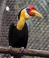 Aceros corrugatus -Zoo Negara -Malaysia-8a-2c.jpg