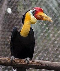 Aceros corrugatus -Zoo Negara -Malaysia-8a-2c