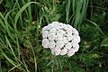 Achilea sp. Asteraceae 05.jpg