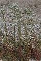 Achillea ptarmica (30129855388).jpg